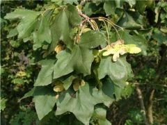 flo_ acerocampestre_foglie