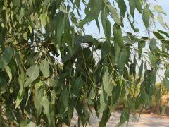 flo_ eucalitto_foglie