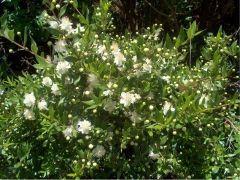 flo_ mirto fiore