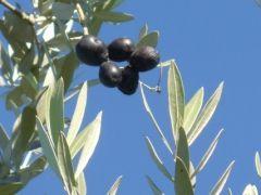 flo_ olivo foglie