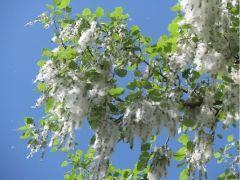 flo_ populus-alba_foglie